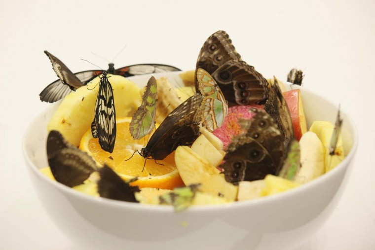 "Live butterflies sit in a bowl of fruit in an installation called ""In and Out of Love"" by Damien Hirst. (Oli Scarff/Getty Images)"