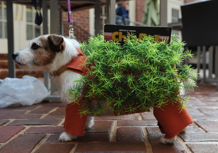 Bubbles the Jack Russell Terrier is dressed as a chia pet plant during the Doggie Howl-o-ween Costume Contest on October 27, 2011 at a hotel in Alexandria, Virginia. (Mandel Ngan/AFP/Getty Images)