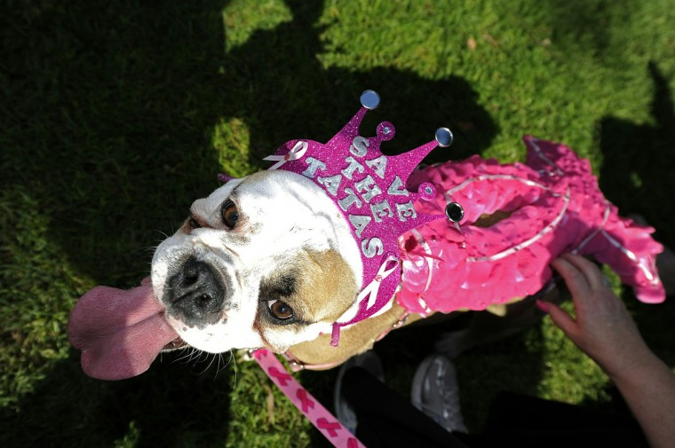 Frida the Bulldog is dresses in a pink ribbon in support of breat cancer research, at the Halloween Dog Costume Parade in Long Beach, California on October 31, 2010. (Robyn Beck/AFP Photo/Getty Images)