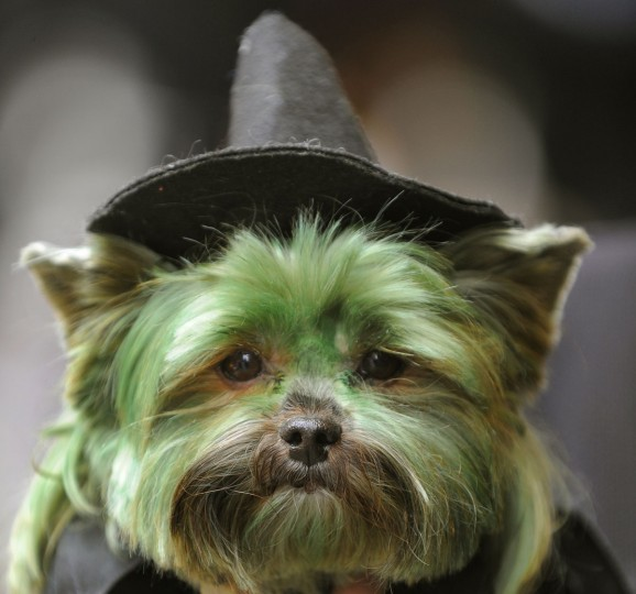 "Petey, the Yorkshire Terrier dressed as ""The Witch from Wicked"" is seen during the Fifth Annual Times Square Dog Day Masquerade on October 18, 2009. The canine costume contest is presentd by the Times Square Alliance. (Timothy A. Clary/AFP Photo/Getty Images)"