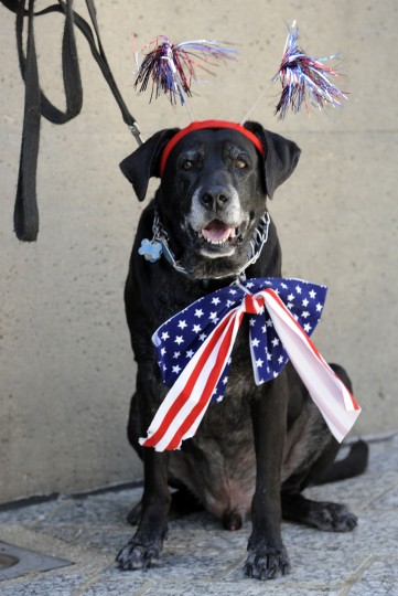 Squeezer, a lab mix, is decked out for July 4th by his owner, Wendy Caldwell from Baltimore, MD at the 2010 American Visionary Art Museum annual Pets on Parade. (Algerina Perna/Baltimore Sun)
