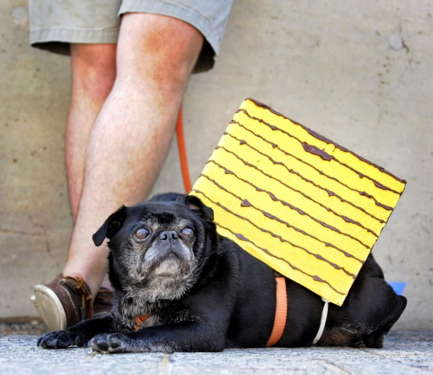 Gordon, a pug, takes a break from carrying the famed and very large Smith Island cake. He's owned by Patrick (pictured) & Alison Rice. The American Visionary Art Museum held its annual Pets on Parade outside the museum on July 4, 2010. (Algerina Perna/Baltimore Sun)
