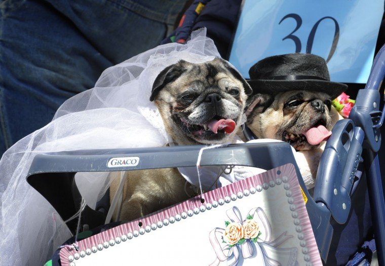 "At the American Visionary Art Museum annual Pets on Parade, Buster and Samantha, two pugs, came in their wedding outfits with owner Mya Johnson, 7, from Cockeysville, MD. They won the ""Haute Couture"" award for high fashion. Over 40 pets were entered in the competition on July 4, 2010 and awards were given in several categories including: best costume and best tricks. (Algerina Perna/Baltimore Sun)"