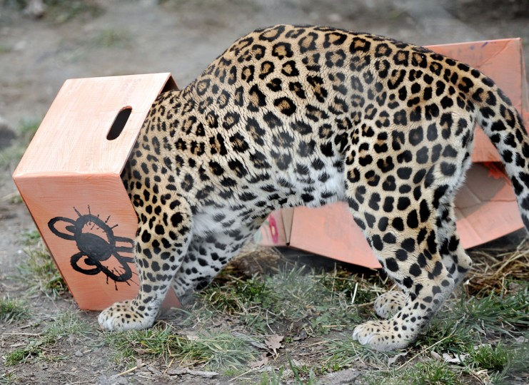 """Feb. 3: For Groundhog Day, Amari, an African leopard at The Maryland Zoo in Baltimore, sticks her head in a box painted with a caricature of a groundhog. Two boxes, one marked """"Spring"""" the other marked """"Winter,"""" were placed with the animal. Amari attacked the winter box and enjoyed the spring one. (Kim Hairston/Baltimore Sun)"""