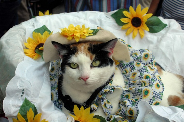 Fluffy Elizabeth, a six year old calico cat (the official Maryland state cat, by the way) won a division of the animal dress up contest with her black-eyed susan themed costume in Howard County on August 6, 2006. She is owned by Kevin Athey, age 13. (Barbara Haddock Taylor/Baltimore Sun)