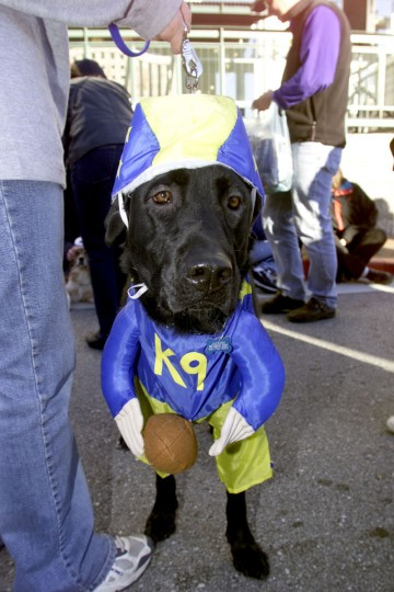 Jackson, a lab dressed as a football player, eagerly awaits the judges decision at the Howl-a-ween costume competition at The Can Company in Canton, MD on Sunday, October 28, 2001. Donations from the event went to the Canton Community Association. (Sun Photo/ Matt Houston)
