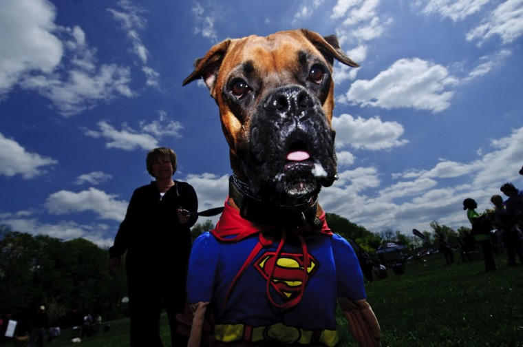 A super costume wins the costume contest for Como, 3, during the Columbia Association's first Welcome Event of the year, Dog Day Afternoon, held at Hopewell Park in Columbia on Saturday, April 17, 2010. Como, a rescue, was shown by his owner Jody Stacoffe, from Elkridge, MD. (Matt Roth/Baltimore Sun)