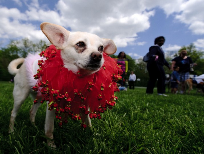 "Phoenix, five, a Jack-Russell/Chihuaua mix is a ""fashionable lady,"" so says her owner Ronda Lennon, from Long Reach. Phoenix competed in the costume contest during the Columbia Association's first Welcome Event of the year, Dog Day Afternoon, held at Hopewell Park in Columbia, MD on Saturday, April 17, 2010. (Matt Roth/Baltimore Sun)"