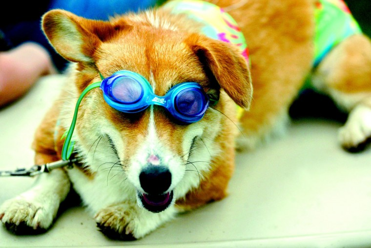 Molly, a Welsh Corgi belonging to 9-year-old Renee Wilson of Parkton, waits dressed in a bikini and goggles for the Farm Fair's Pet Show to begin August 8, 2003. Wilson said she decided to dress Molly in beach attire because the dog opposed the lipstick she had to wear with her clown's costume for last year's competition. (Keri Wiginton, Patuxent Publishing)