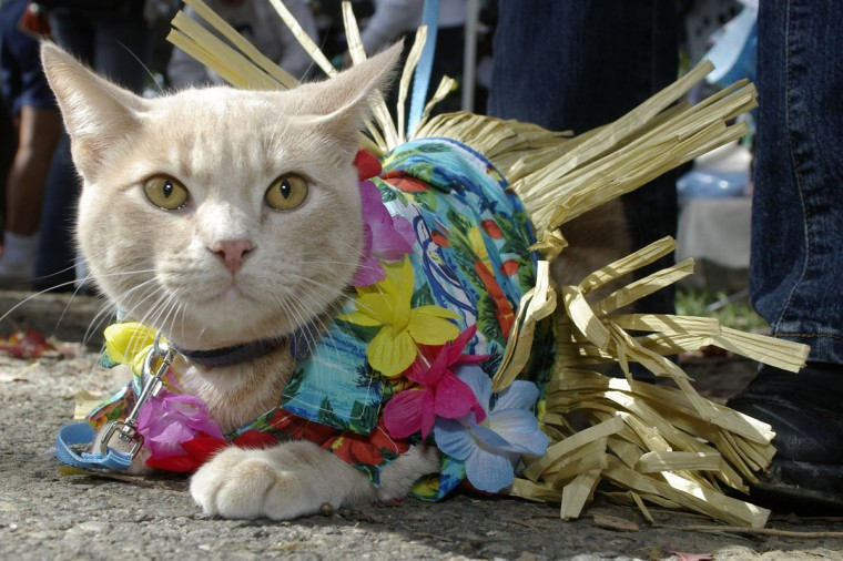 The Humane Society of Baltimore Co. held their annual Paws on Parade fundraiser Sunday, October 16, 2005. Many pet owners brought their dogs, and a few cats to enjoy the day with as well to compete in the costume competition. Aspen, a Tan Tabby, is dressed up as a Hula dancer for the day. (Brendan Cavanaugh/P3 Imaging)