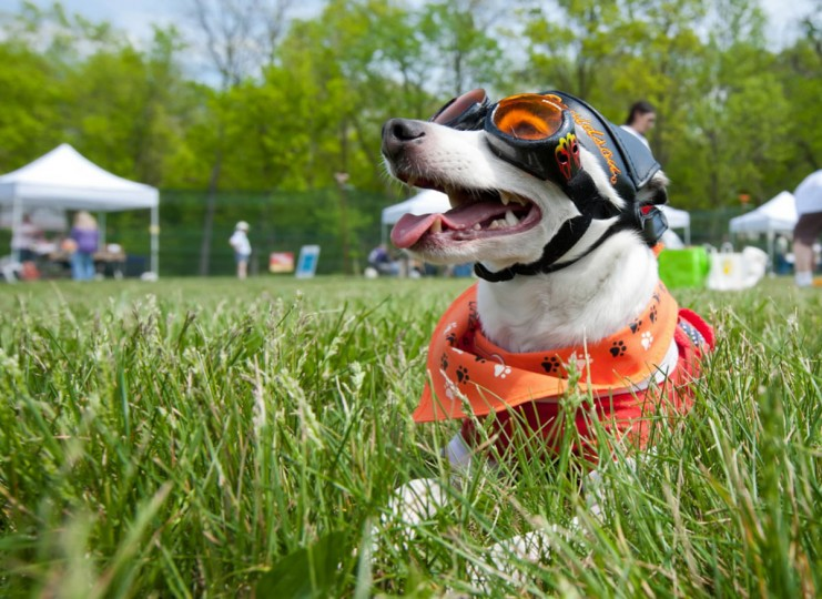 Eernie, a 5-year old Toy Fox-Terrier, relaxes in the grass wearing his Harley Davidson costume during Dog Day Afternoon. The Columbia Association held its annual Dog Day Afternoon event at Hopewell Park on April 21, 2012, featuring activities, contests, games, and products for Columbia residents and their dogs. (Nate Pesce/Baltimore Sun)
