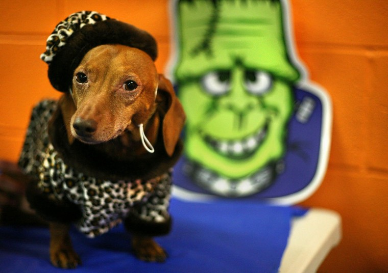 Amber, a 6-year-old dachshund owned by William McGuire of River Hill, poses in her Dog-o-ween costume at Dogtopia on Saturday, October 31, 2009. The event, held for its third year by the doggie daycare, gave owners a chance to parade their costumed puppy pals and enjoy tasty treats. (Kitty R Charlton/Patuxent Publishing)