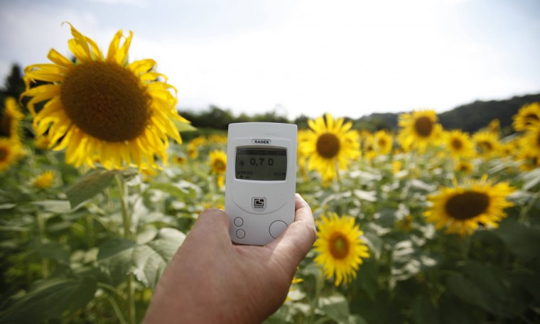 August 6, 2011: A geiger counter is placed in front of sunflowers in full bloom in Fukushima, northern Japan. At a temple in Fukushima thousands of sunflowers have been planted to help fight the radiation. Sunflowers were used near Chernobyl after the 1986 nuclear accident to extract radioactive caesium from contaminated ponds nearby. Japanese scientists are carrying out tests to prove their usefulness in fighting radiation. (Yuriko Nakao/Reuters)