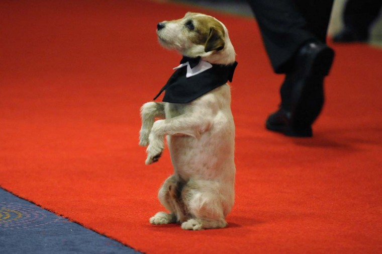 """Uggie the dog, from the movie """"The Artist,"""" performs on the red carpet for the annual White House Correspondents' Association Dinner at the Washington Hilton in Washington April 28, 2012. (Jonathan Ernst/Reuters)"""