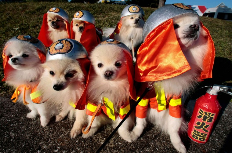 Seven Pomeranian dogs wear firefighter costumes during a fashion show of the Dog Olympics. The show was held at the Hakkeijima Sea Paradise aquarium-amusement park complex in Yokohama, southwest of Tokyo, on Saturday, November 22, 2008. (Itsuo Inouye/AP Photo)