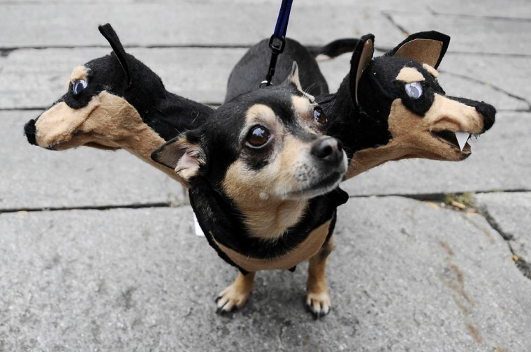 "Little, a Chihuahua, owned by Liz Newton, of Salem, Massachusetts, waits during the second annual ""howl-oween,"" a dog costume contest, Saturday, October 25, 2008 at Faneuil Hall in Boston. Little won best of show. (Lisa Poole/AP Photo)"