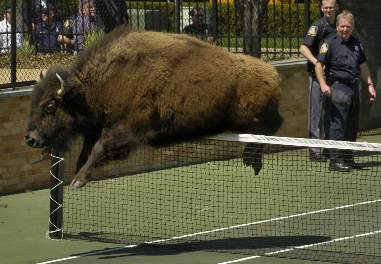In April 2005, nine bison escaped from a farm in Stevenson, Md. and after herding the beasts onto a tennis court, the challenge continued for Baltimore County police, as the beasts avoided the officers. A couple of bison even jumped over the tennis nets. (Amy Davis/Baltimore Sun)