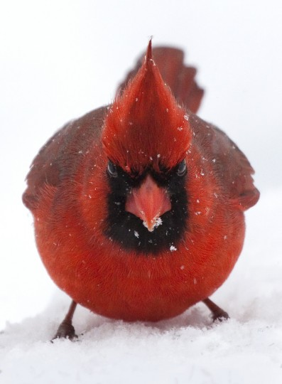 "All Creatures... : ""Ticked-off Cardinal"" by Kevin Moore -- Kevin took this picture titled ""Ticked-off Cardinal"" last winter with a Canon EOS 50D. ""Moore's photo could have easily been a contender for next week's category ""Seeing Red,"" with a double meaning as this cardinal looks like one angry bird. I love the humor of this photo. The focus is tack sharp and the photographer did a great job exposing the bird and letting the background go white. Most cameras would tend to turn this into a silhouette."""