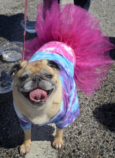 A young pug doesn't seem to be too embarrassed by her attire as the Maryland SPCA holds their 17th annual March for the Animals around the lake in Druid Hill Park Sunday afternoon, April 29. 2012. (Doug Kapustin/Baltimore Sun)
