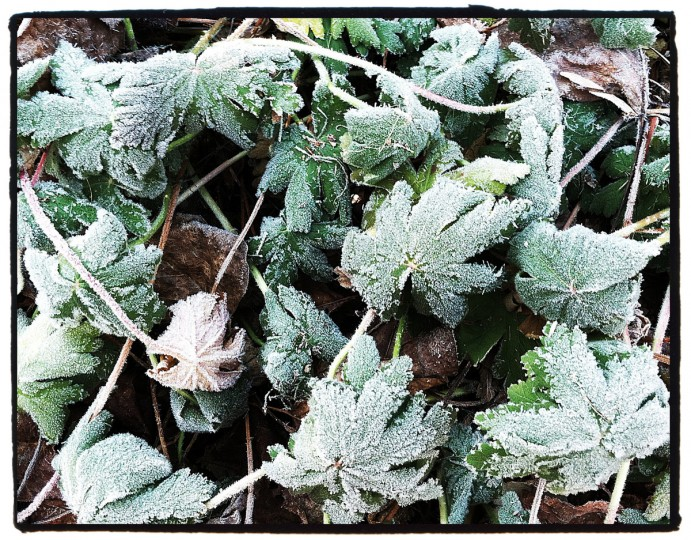 The first frost of the season settle in on some perennial geraniums. You will be amazed at how close the cameras on phones will focus. But, be careful to hold very still.(Robert K. Hamilton/Baltimore Sun)