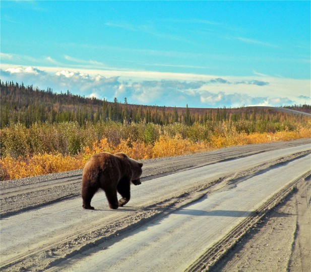 "On the Road: ""Grizzly on the Go"" by Leslie B. Picker -- Leslie photographed ""Grizzly on the Go"" with a Nikon Coolpix P80 on Dempster Highway in the Yukon. ""This is a scene you don't see every day. The photographer grabbed a shot of this bear after it climbed onto the road before meandering into a meadow. I like the composition of the photograph, but the real lesson to be learned, is always be ready to be lucky. This photographer was and got a truly unique picture."""