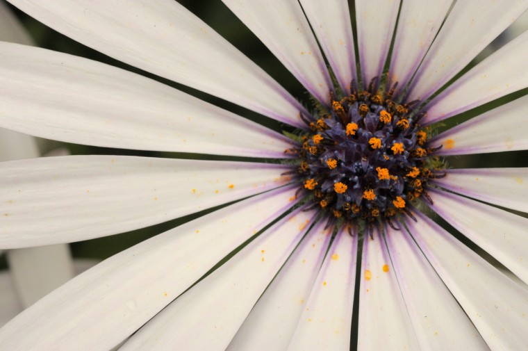 One of the many flowers seen in full bloom at Baltimore's FlowerMart 2012. (Karl Merton Ferron / Baltimore Sun Staff)