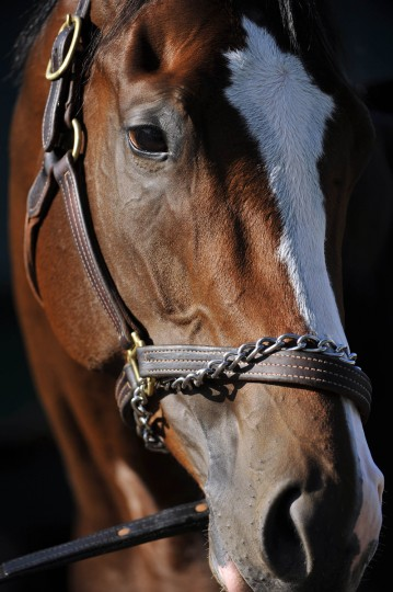 Bodemeister will run in the 137th Preakness Stakes at Pimlico Race Course on Saturday.(Kim Hairston/Baltimore Sun)