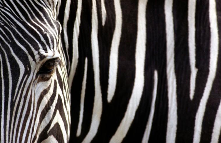 A Gravy's zebra. (Jeffrey F. Bill)