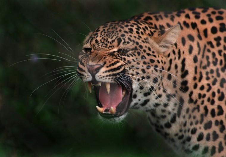 A leopard bares his teeth. (Jeffrey F. Bill)