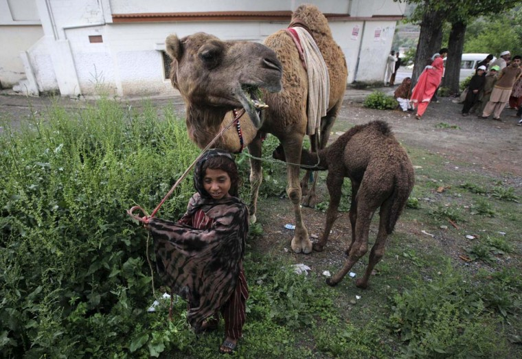 Mumtaz takes care of her family's pet camels while travelling with her family in Abbottabad April 22, 2012. (Akhtar Soomro/Reuters)