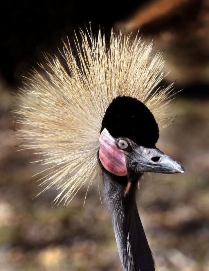 A West African Crowned Crane. (Jeffrey F. Bill)