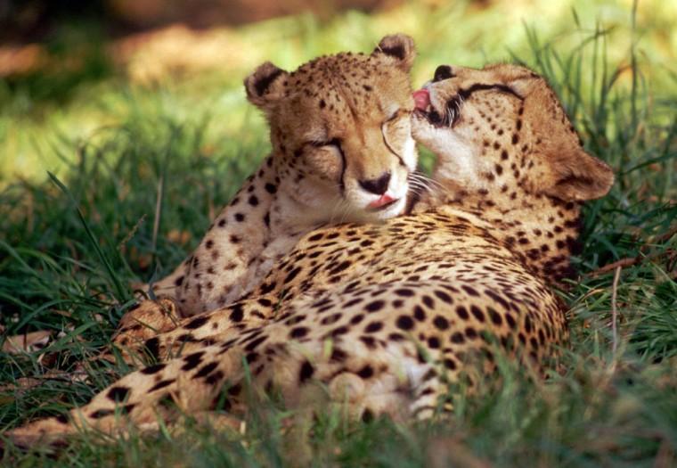 This pair of Cheetahs live at the Cheetah Conservatory at The National Zoo in Washington, D.C. (Jeffrey F. Bill)