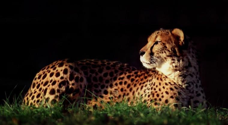 A lounging Cheetah. (Jeffrey F. Bill)
