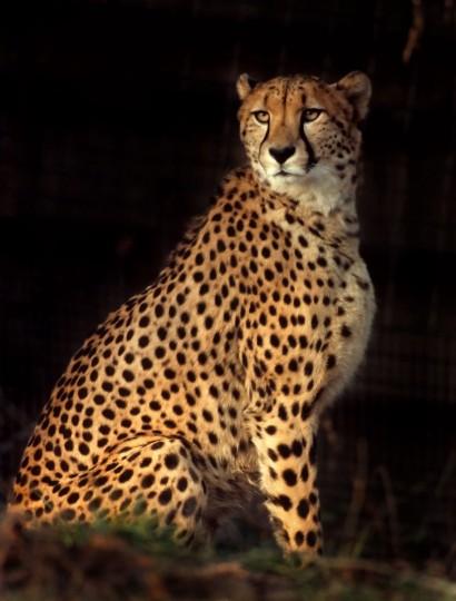 A handsome Cheetah. (Jeffrey F. Bill)