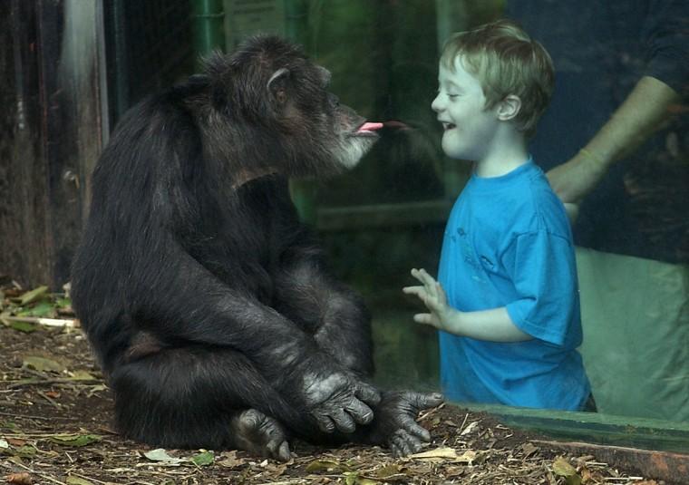 A Chimpanzee jokes with a zoo visitor. (Jeffrey F. Bill)