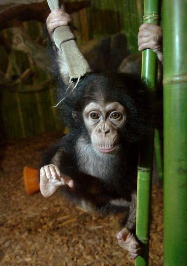 A young chimpanzee plays with enrichment toys. (Jeffrey F. Bill)