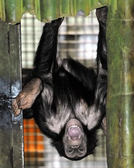 A chimpanzee plays in an exhibit. (Jeffrey F. Bill)