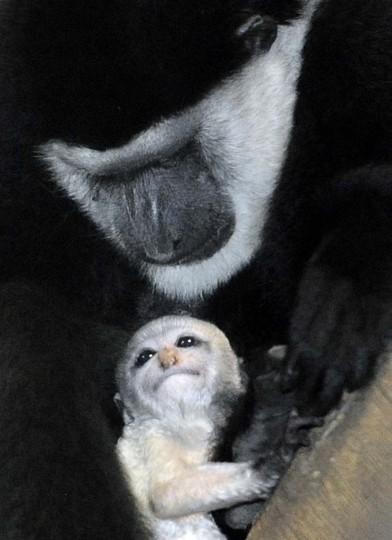 A newborn Colobus Monkey. (Jeffrey F. Bill)