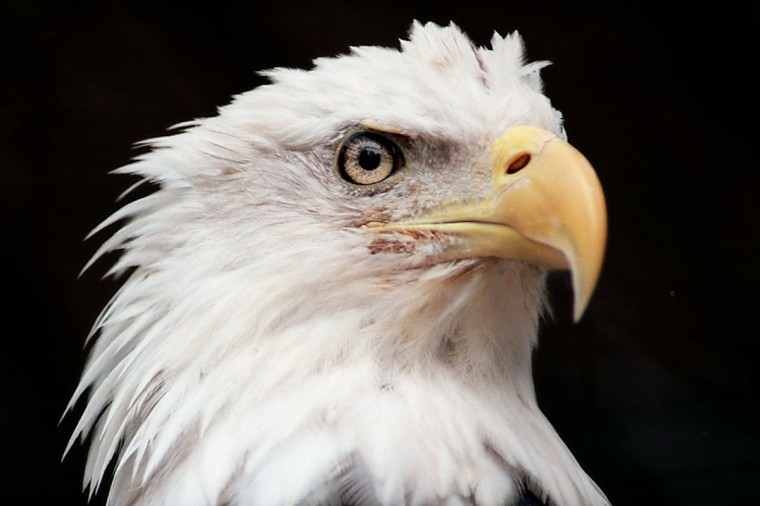 This 1997 image of a bald eagle was my favorite picture of the year. (Jeffrey F. Bill)