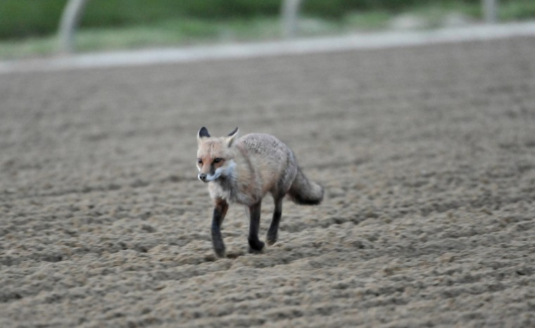 A fox visits the track at Pimlico Race Course during an early morning workout. (Kim Hairston/Baltimore Sun)