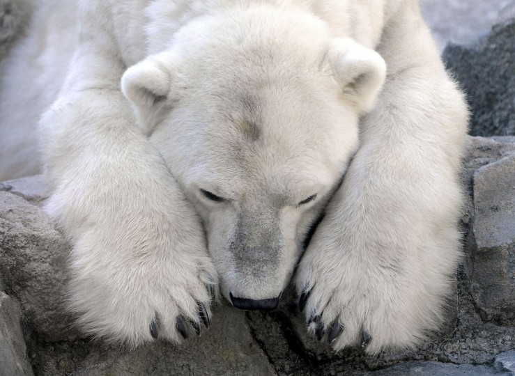 Fun fact: Polar bears only live in the arctic. Penguins and polar bears are often depicted together, but they would never meet in the wild. (Jeffrey F. Bill)