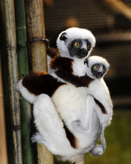 A baby Sifaka. Like all lemurs, they are found only on Madagascar. (Jeffrey F. Bill)