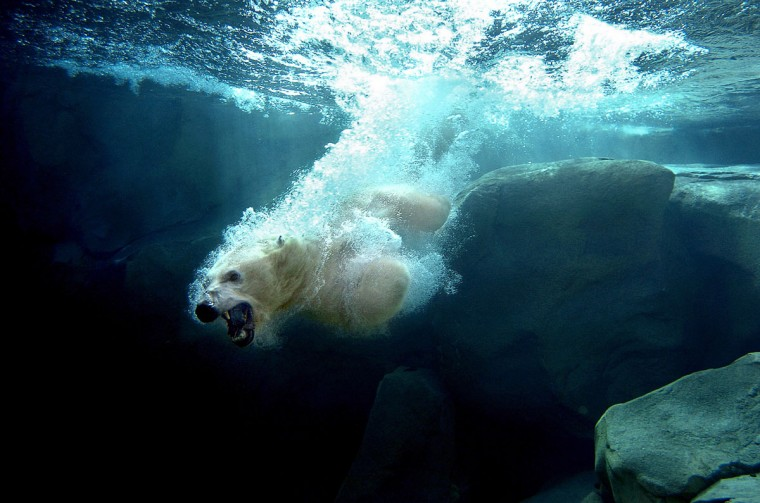 A polar bear dives into the water. This image won 3rd place in the Pictures of the Year International contest in 2007. (Jeffrey F. Bill)
