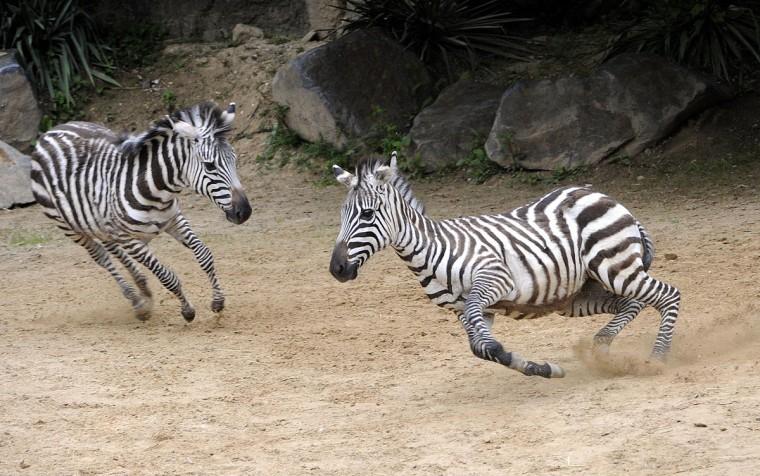 Zebras Stella & Phoenix play at The Maryland Zoo in Baltimore. (Jeffrey F. Bill)