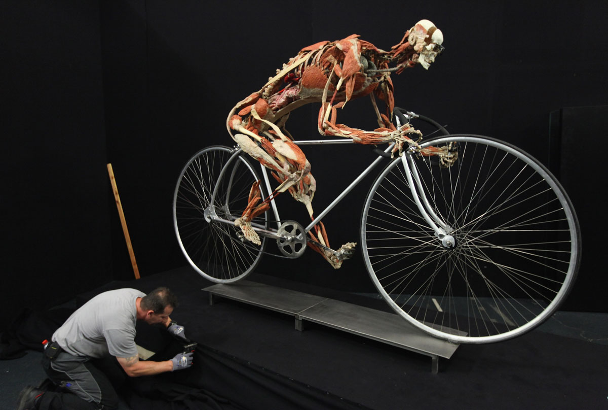 "April 26, 2011: A worker attaches a black cover to the base under a plastinated human corpse with its muscles pulled apart and posed to look like a cyclist in preparation for the ""Body Worlds"" exhibition in Berlin, Germany. The exhibition, which features human and animal corpses plastinated by Gunther von Hagens, focuses on the role of the heart. (Sean Gallup/Getty Images)"