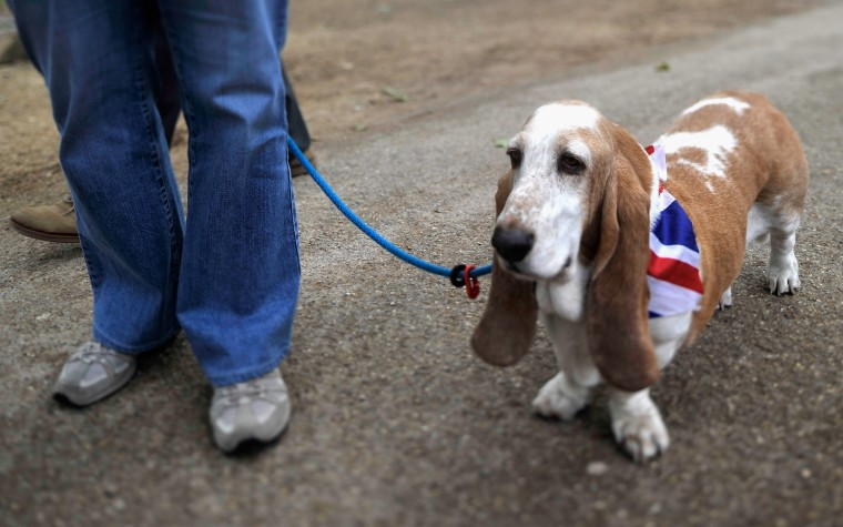 A basset hound dog wears the Union Jack flag in St James's Park prior to the Diamond Jubilee Buckingham Palace Concert on June 4, 2012 in London, England. (Gareth Cattermole/Getty Images)