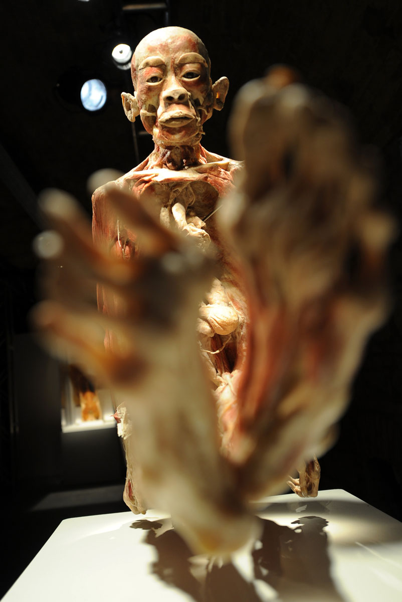 "April 2, 2012: A preserved human body is displayed in the VAM Design Center of Budapest during an exhibition of the ""Bodies 2."" This unique exhibit is a display of several authentic human specimens, including whole bodies, individual organs and transparent body slices preserved through a special process called plastination. (Attila Kisenedek/AFP/Getty Images)"