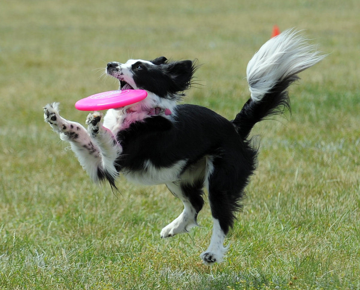 "Ed Headrick, ""Father of the frisbee"" – The frisbee was first sold in 1964 while its inventor ""Steady"" Ed Headrick worked for the toy company Wham-O. Pictured is ""Poe,"" a Border Collie/ Springer mix from Chesapeake Beach, catching a frisbee during the DogFest 2010 Extreme Distance frisbee catch sponsored by the Baltimore Humane Society. (Lloyd Fox/Baltimore Sun)"