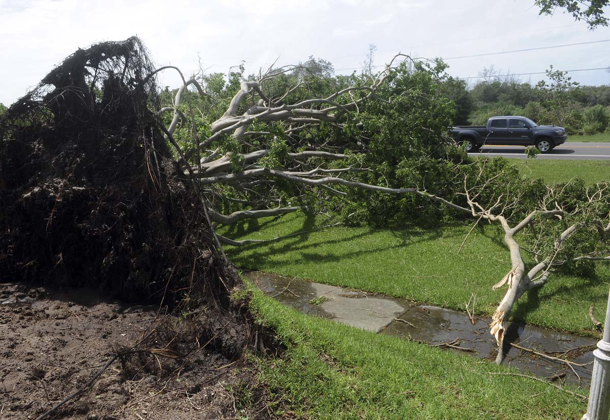 A large banyan tree uprooted by Tropical Storm Debby lies near Manatee Avenue at Perico Island in Florida. (Tiffany Tompkins-Condie/Bradenton Herald)