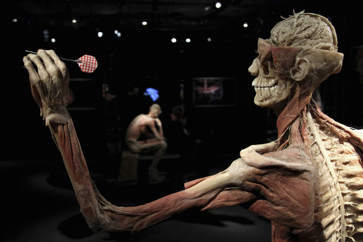 "June 15, 2012: Plastinated human bodies are seen during a media viewing for the exhibition ""The Human Body"" in Ostend. The exhibition which runs from June 16 to September 9 showcases dissected real human body specimens that are preserved through an innovative process and respectfully presented, giving visitors the opportunity to view the beauty and complexity of their own organs and systems. (Francois Lenoir/Reuters)"